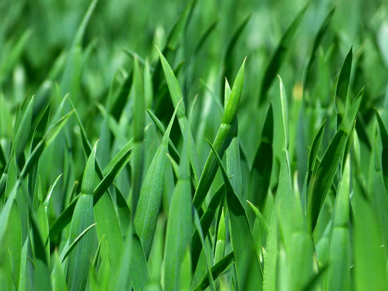 cost of natural grass